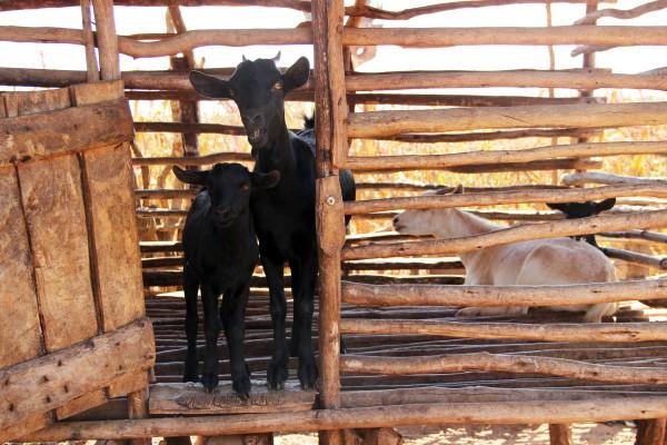 snapshots from malawi #2 mtika goats