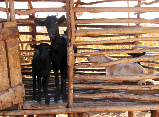 How one goat is helping to lift a whole community out of poverty