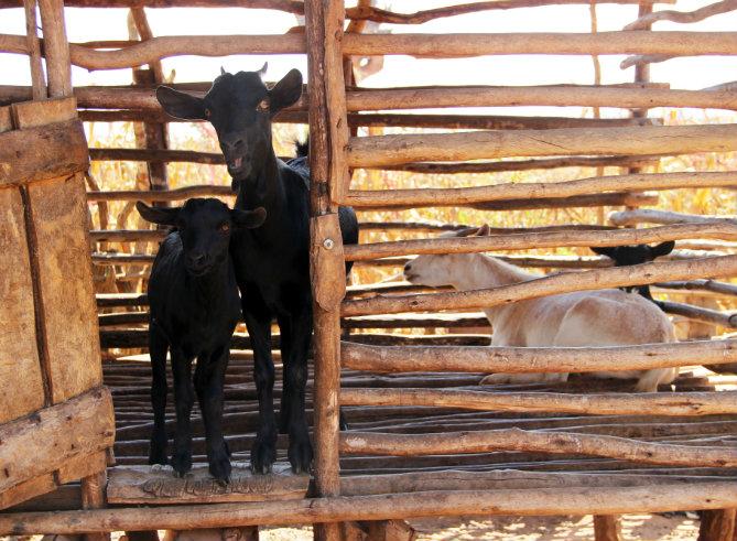 Hoe één geit een hele gemeenschap uit de armoede helpt ontsnappen