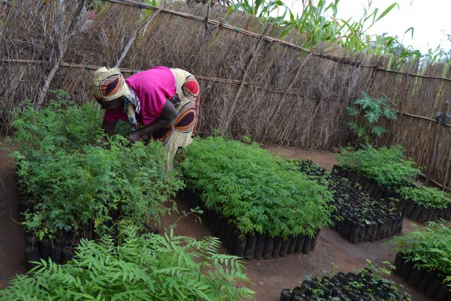 MCC: Planting trees in Malawi for a sustainable future